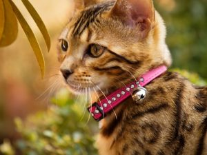 Bengal Kitten with pink Collar
